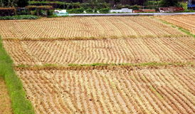 Harvested Rice Field with Stubbles Stock Photo