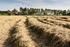 Harvested rice field Royalty Free Stock Photos