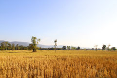 Harvested rice field. In Thailand Royalty Free Stock Photo