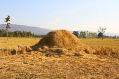 Harvested rice field Stock Image