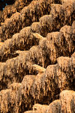 Harvested rice hung to dry in the sun Stock Image