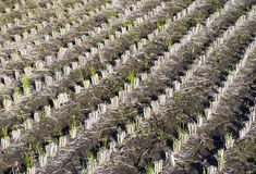Harvested Rice II stock photos