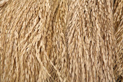 Harvested rice Stock Image