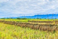 Harvested rice Stock Photos