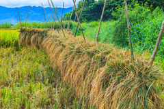 Harvested rice Stock Photo