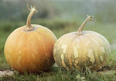 Harvested ripe pumpkin in meadow Stock Photos