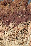 Harvested sorghum. The close-up of harvested sorghum royalty free stock image