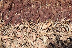 Grain sorghum. The harvested sorghum is stacked together royalty free stock photos