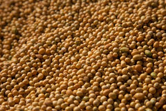 Harvested soybean. Royalty Free Stock Photography