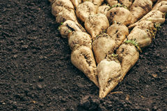 Harvested sugar beet crop root pile. On the ground, selective focus Stock Image