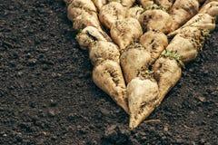 Harvested sugar beet crop root pile Stock Image