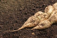 Harvested sugar beet crop root pile Royalty Free Stock Photo