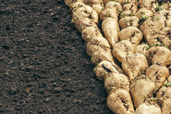 Harvested sugar beet crop root pile. On the ground, selective focus royalty free stock photo