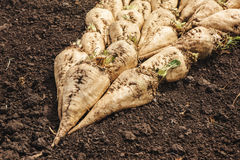 Harvested sugar beet crop root pile. On the ground, selective focus Stock Photos