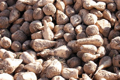 Harvested Sugar Beets Royalty Free Stock Photography