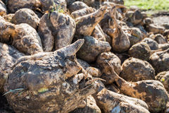 Harvested sugar beets from close Royalty Free Stock Image