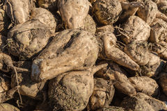Harvested sugar beets from close Royalty Free Stock Photography