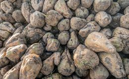 Harvested sugar beets from up close stock images