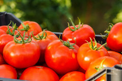Harvested tomato in crate Royalty Free Stock Photos