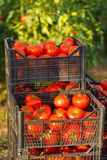 Harvested tomato in crates Stock Images