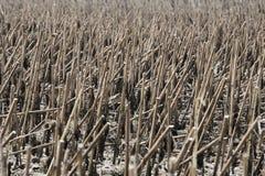 Harvested verwelkte Sonnenblumenfeld Lizenzfreie Stockfotografie