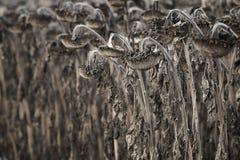 Harvested verwelkte Sonnenblumenfeld Lizenzfreies Stockbild