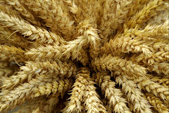Harvested wheat Stock Photo