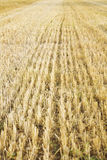 Harvested wheat field Stock Images