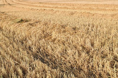 Harvested wheat field Royalty Free Stock Photography