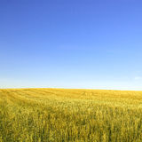 Harvested wheat field and  blue sky Stock Photo