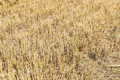 Harvested wheat field Stock Image