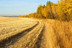 Harvested wheat field in fall. A harvested wheat field bordered by aspens in fall colour Royalty Free Stock Photos