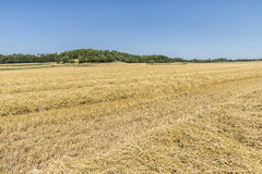 Harvested wheat field Royalty Free Stock Images