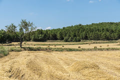 Harvested wheat field Stock Photography