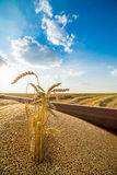 Harvested wheat grains in tractor trailer. Stock Photography