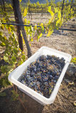 Harvested Wine Grapes In Bins One Fall Morning Stock Photo