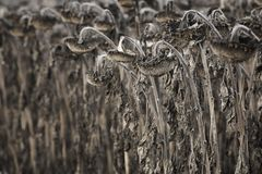 Harvested withered sunflowers field royalty free stock image