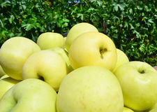 Harvested yellow apples Stock Photo