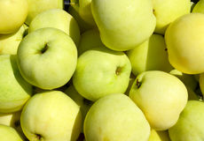 Harvested yellow apples in sunny day Royalty Free Stock Image
