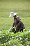 Harvester. Women Picking crops Stock Photo