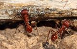 Harvester Ants Royalty Free Stock Photography