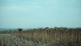 Harvester Collects Sunflowers stock footage