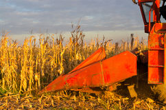 Harvester combine harvesting corn on sunny summer day Royalty Free Stock Photography