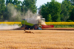 Harvester combine harvesting wheat. On sunny summer day Stock Photo