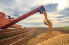 Harvester combine harvesting wheat pouring seeds in tractor trailer. Harvester combine harvesting wheat and pouring seeds in the tractor trailer on cloudy summer Royalty Free Stock Photos