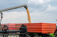 Harvester combine pouring wheat seeds in tractor trailer harvest Royalty Free Stock Image