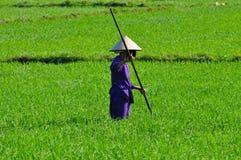Harvester för Ricepaddy Arkivbild