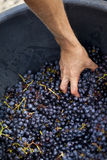 Harvester and grapes Royalty Free Stock Images