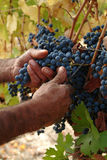 Harvester hands. Cutting grapes Royalty Free Stock Photos