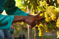 Harvester hands cutting green grapes on a vineyard Stock Image